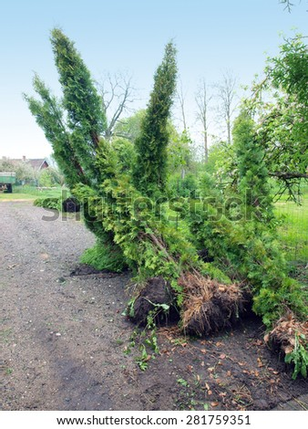 Big thuja or cypress trees for replanting stacked near the fence - stock photo