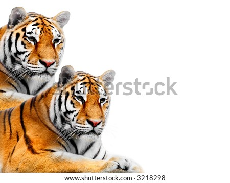 Big Tiger on a white background - stock photo