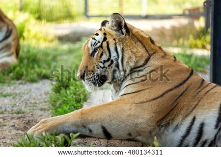 big tiger on the grass