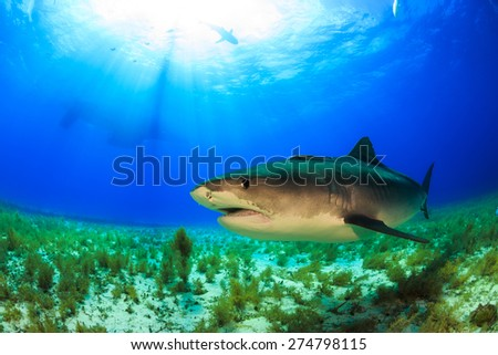 Big tiger shark swimming by in clear blue water at Tiger beach, Bahamas - stock photo
