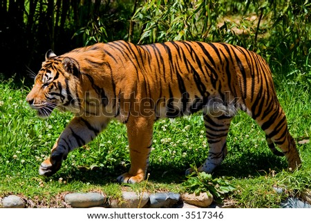 Big tiger walking around a garden/forest