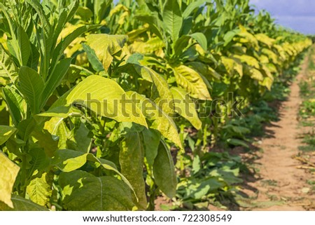 tobacco cultivation in pakistan Advisory : promotion of tobacco and products in pakistan though tobacco cultivation occupies relatively a small area of 027 percent of the total irrigated land.
