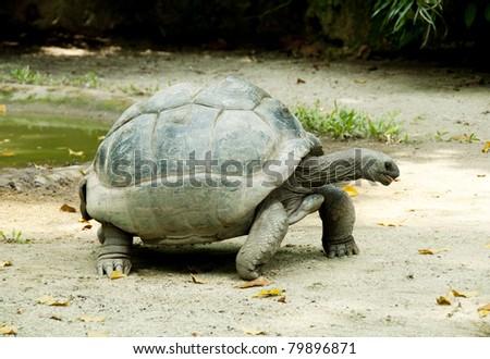 big tortoise - stock photo