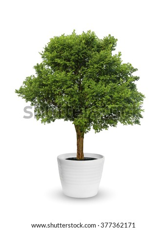 big tree a potted isolated over white - stock photo