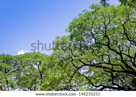 Big tree, Common name : saman, rain tree, monkeypod - stock photo