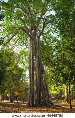 Big Tree in a tropical forest, Cambodia. - stock photo