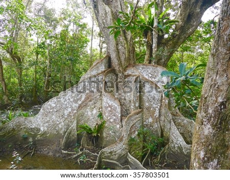 big tree in mangrove forest
