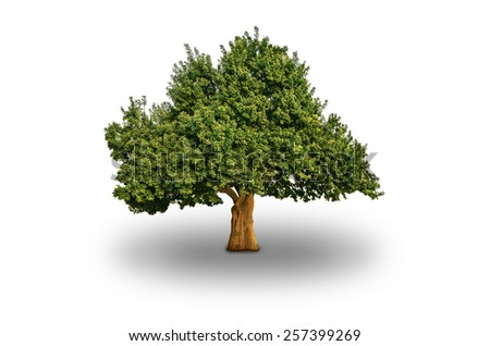 Big Tree Isolated