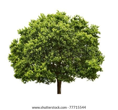 Big Tree isolated on white background - stock photo