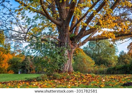 Big tree losing the leafs in the autumn - stock photo