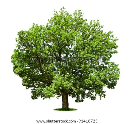 Big tree - oak isolated on a white - stock photo