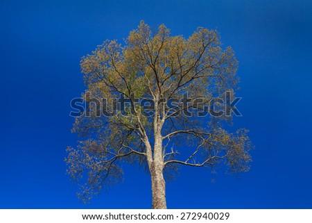big tree on blue sky  - stock photo