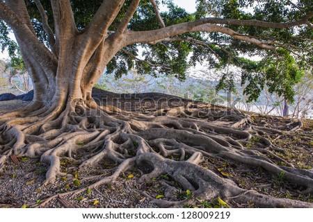 big tree root - stock photo
