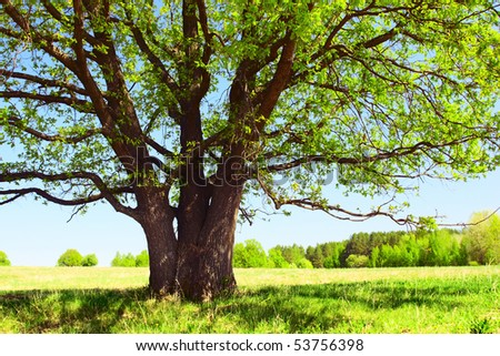 Big tree's branches with fresh leaves on green meadow in sunny day - stock photo