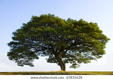 Big tree still with green leaves in the fall in a winter crops field. - stock photo