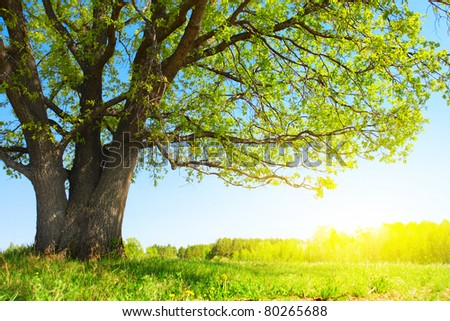 Big tree with fresh green leaves and green spring meadow - stock photo