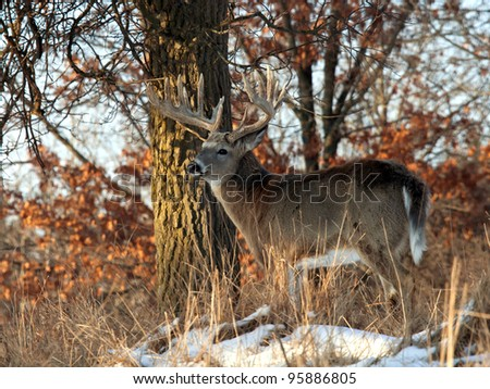 Big, trophy, whitetail deer buck, standing profile in the morning sunlight. Many more images of this buck in my portfolio. - stock photo
