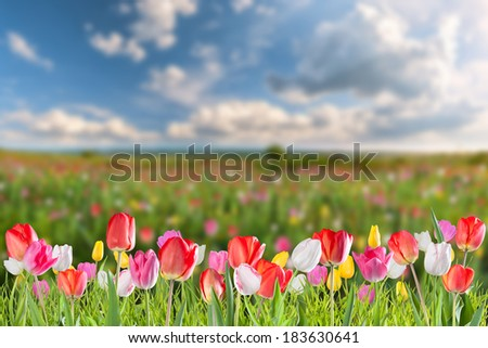 Big tulip flowers meadow, spring landscape