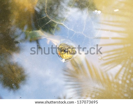 Big turtle in tropical pond water - stock photo