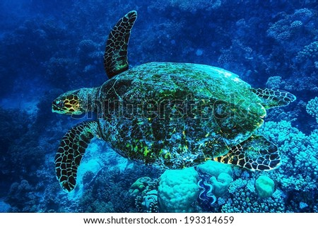 Big turtle swimming undersea, beautiful exotic water animal, wonderful marine life, summer travel and vacation concept - stock photo