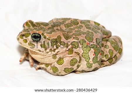 Big Ugly Frog Common European Toad Bufo - stock photo