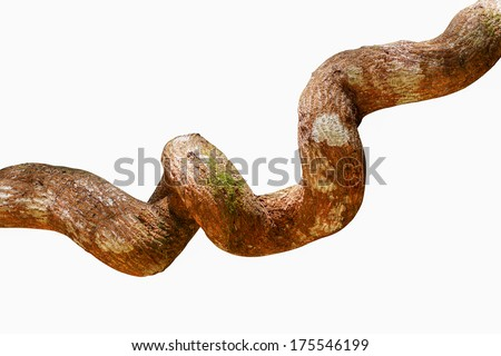 Big vine in forest - stock photo