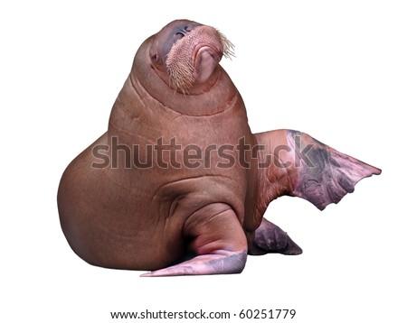 Big Walrus isolated on pure white background - stock photo