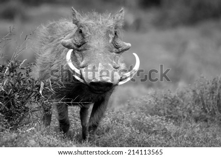 big warthog with large tusks in this close up portrait in South Africa - stock photo