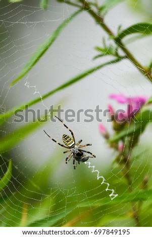 big wasp spider in its web