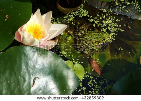 Big water frog in a pond in summer  - stock photo