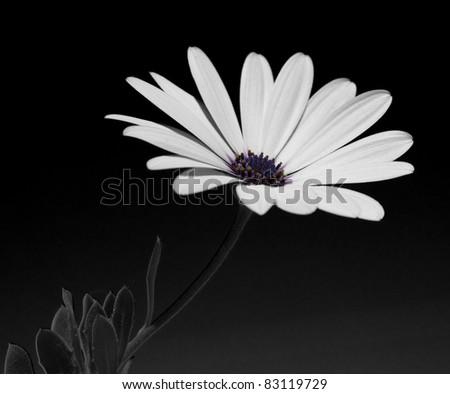 Big white daisy on black - stock photo