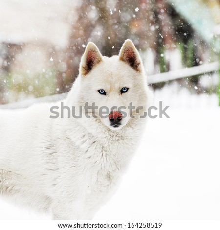 big white dog standing on snow. winter day - stock photo