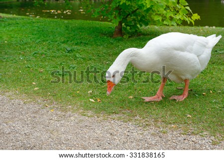 Big white goose in meadow - stock photo