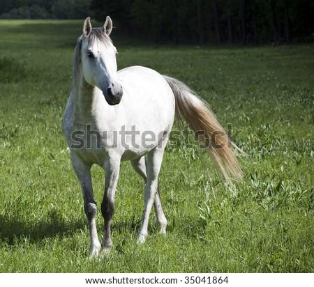 big white horse near forest - stock photo