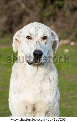 Big white labrador dog in the grass of the field