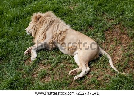 Big white lion peacefully sleeping on grass  - stock photo