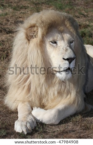 Big white male lion with shaggy mane - stock photo