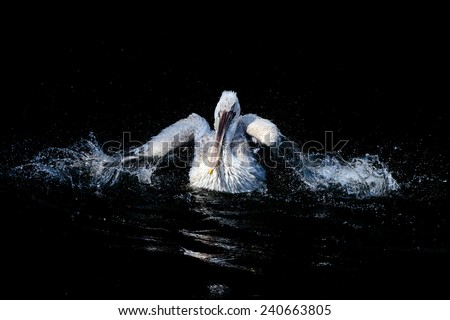 Big white pelican swimming in drops of water in dark pond. - stock photo