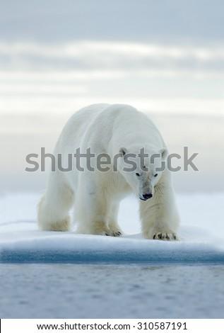 Big white polar bear, on drift ice with snow, Svalbard, Norway - stock photo
