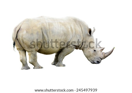 Big white Rhino bull with a nice horn isolated on a white background  - stock photo