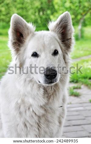 big white sheep dog like the polar bear - stock photo