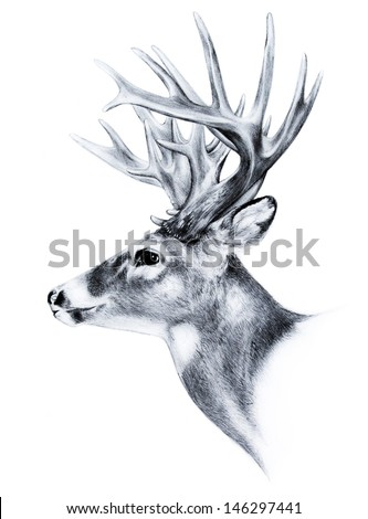 big white tail deer head antler trophy hand drawn sketch isolated on white background big buck animal illustration, deer clip-art - stock photo