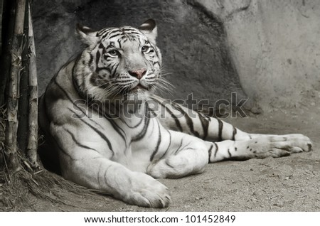 big white tiger lying on the floor - stock photo