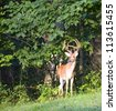 Big whitetail buck with antlers in velvet near some trees - stock photo