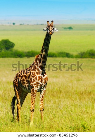 Big wild african giraffe, walking in Savanna, game drive, wildlife safari, animals in natural habitat, beauty of nature, Kenya travel, Masai Mara - stock photo