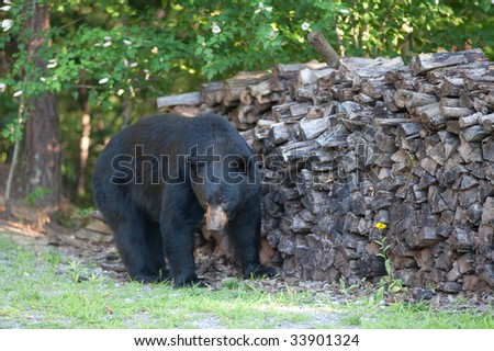 Big wild Black Bear walking by a wood pile