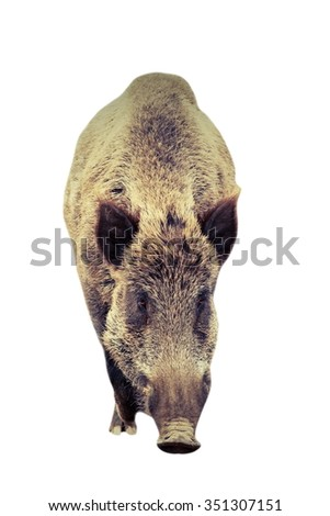 big wild boar coming towards the camera, isolation over white background, full length animal