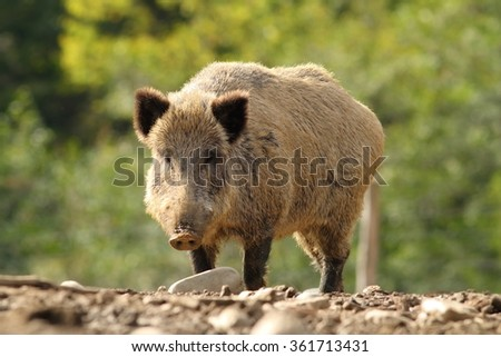 big wild boar in a glade ( Sus scrofa ) - stock photo