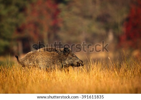 Big Wild boar, Sus scrofa, running in the grass meadow, red autumn forest in background, animal in the nature habitat, Germany - stock photo