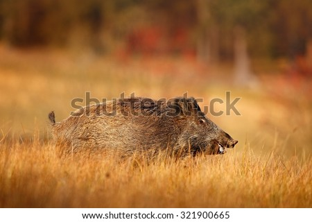 Big Wild boar, Sus scrofa, running in the grass meadow, red autumn forest in background, Germany - stock photo